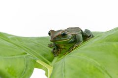 Close-up of  Fea`s Tree Frog on a white background ,Amphibian of Royalty Free Stock Image