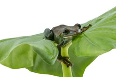 Close-up of  Fea`s Tree Frog on a white background ,Amphibian of Stock Photo