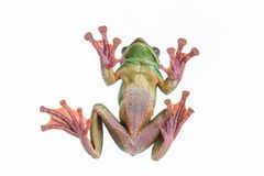 Close-up of Feas Tree Frog on a white background ,Amphibian of. Close-up of Feas Tree Fog on a white background ,Thailand Stock Photo