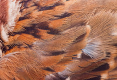 Close up feather of sparrow for Royalty Free Stock Photography