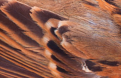 Close up feather of sparrow for Stock Photo