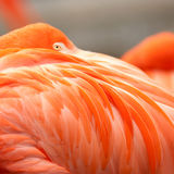 Close up feathers of flamingo Stock Photos