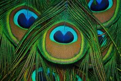 Texture Close-up of feathers peacock. Close-up of feathers peacock. The texture of the famous peacock feathers stock photography