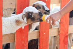 Close-up feeding baby goat with baby bottle in a farm Royalty Free Stock Photos