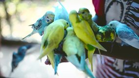 Close up feeding parrots from hand stock video footage