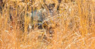 African Lion in a South African Game Reserve. Close up of a female African Lion hiding in long grass in a South African Game Reserve royalty free stock photo