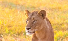Close up of a female African Lion in a South African wildlife ga. Me reserve at sunrise stock photo