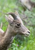 Close Up of a Female Bighorn Sheep. Eating grass. Her head and neck is photographed in profile in natural light with a shallow depth of field. Located in royalty free stock images