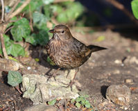 Close up of a female Blackbird Royalty Free Stock Photography