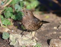Close up of a female Blackbird Stock Photos