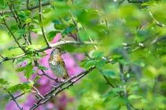Brambling. The close-up of a female Brambling stands on branch. Scientific name: Fringilla montifringilla stock photos