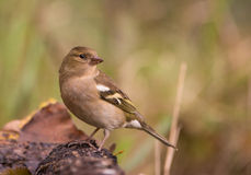 Close-up of a female Chaffinch Royalty Free Stock Photo