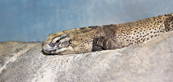 A Close Up of a Female Chuckwalla Royalty Free Stock Image