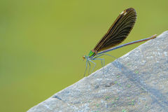 Damselfly. The close-up of a female damselfly on rock. Scientific name: Mnais mneme Stock Photos