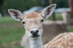 Close up of a female deer Royalty Free Stock Image