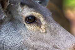 Close-up Female deer on face Stock Photos