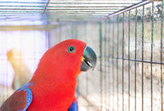 Close up female eclectus parrot Eclectus roratus Royalty Free Stock Image