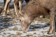 Close up of a female ewe bighorn sheep eating snow covered grass in winter stock image