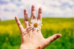 Close up of female hand with daisy against vivid summer field and blue sky stock images