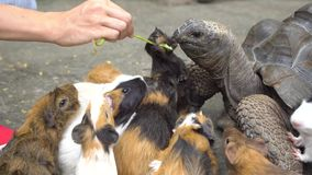 Close up of female hand feeding turtle and guinea pigs Stock Photography