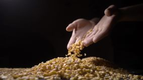 Female hand holding handful of dried split peas, high quality food. Close-up of female hand holding handful of dried split peas, high quality food stock video