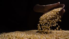 Female hand holding handful of dried split peas, high quality food. Close-up of female hand holding handful of dried split peas, high quality food stock video footage