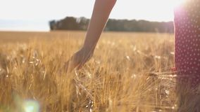 Close up of female hand moving over ripe wheat growing on the meadow. Young girl walking through the barley field and stock footage