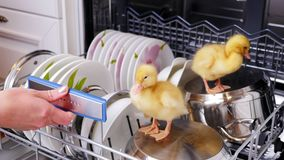 Close-up, a female hand pushes a basket with washed dishes out of the dishwasher, where two Little yellow ducklings sit. They sit on plates, a pan. In the stock video footage