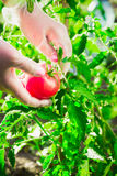 Close-up female hands of a farmer ripping a ripe tomato from a bush on a field. Royalty Free Stock Image