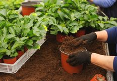 Close up of female hands with gloves holding flower pot with seedling in greenhouse royalty free stock image