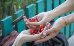 Close-up. Female hands hold red strawberries. On blurred background royalty free stock photography