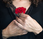 Close up of Female Hands Holding a red carnation against her che Stock Photo