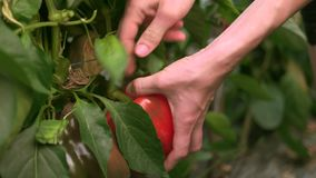 Close up of female hands picking up green and red peppers. stock footage