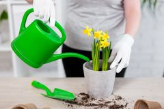 Close up of female hands watering flowers in pot at home. Close up of female hands watering spring flowers in pot at home stock image