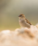 Close-up of female House Sparrow Stock Photos