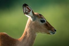 Close-up of female impala with blurred background Royalty Free Stock Photo