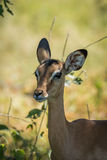 Close-up of female impala in dappled sunlight Royalty Free Stock Photos