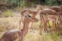 Close up of a female Impala. Royalty Free Stock Image