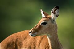 Close-up of female impala with turned head Royalty Free Stock Photography