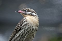 A juvenile figbird. This is  a close up of a female juvenile figbird Stock Photography