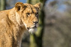 Close up of female lion. Standing on a brach of a tree Royalty Free Stock Photos