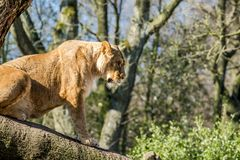 Close up of female lion. Standing on a brach of a tree Royalty Free Stock Photo