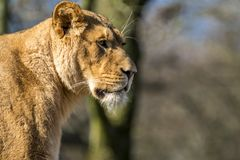 Close up of female lion. Standing on a brach of a tree Stock Photos