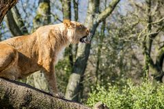 Close up of female lion. Standing on a brach of a tree Stock Image