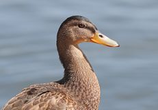 Close up of a female Mallard Duck. Against a blurred background canal Royalty Free Stock Images