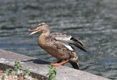 Close up of a female Mallard Duck. Against a blurred background canal Stock Image