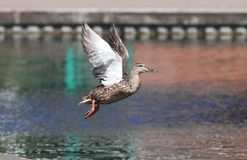 Close up of a female Mallard Duck. In flight landing on a canal Royalty Free Stock Image