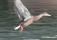 Close up of a female Mallard Duck. In flight over a canal with blurred background Stock Photos