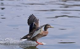 Close up of a female Mallard Duck. In flight over a canal with blurred background Stock Photography