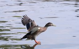 Close up of a female Mallard Duck. Landing and looking like she is walking on water Royalty Free Stock Photos